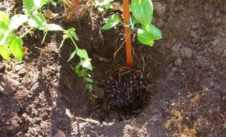 Размножение сливы корневой порослью: пошаговая инструкция
