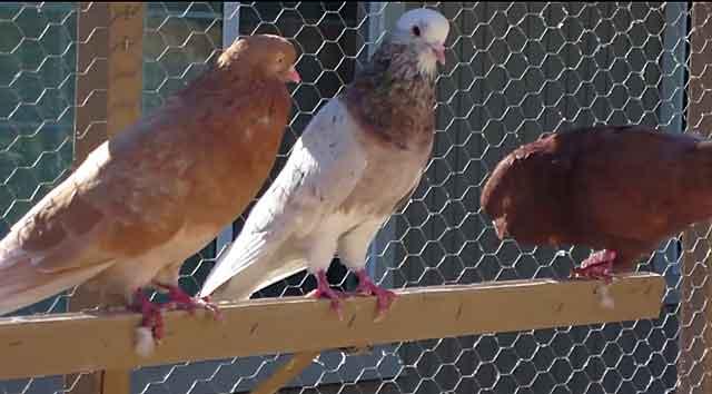 Иранские бойные голуби: описание, фото, уход и содержание