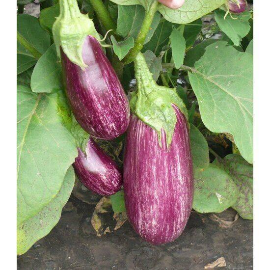Баклажан валентина: описание сорта, посадки семян на рассаду и ухода