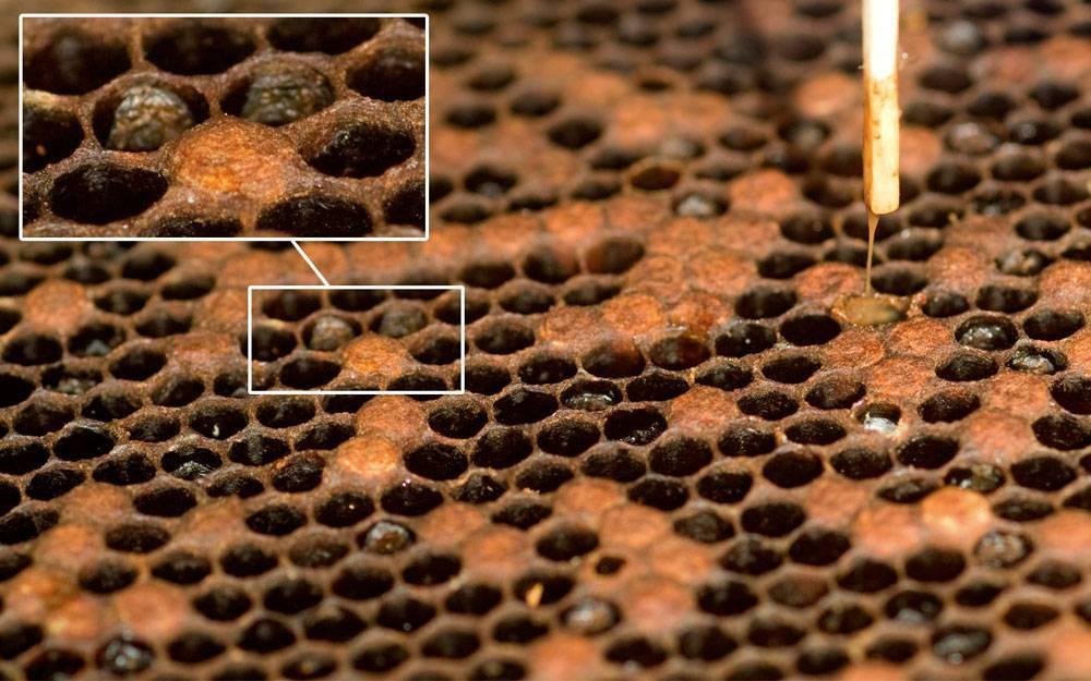 Аспергиллез пчел: характерные признаки и лечение заболевания