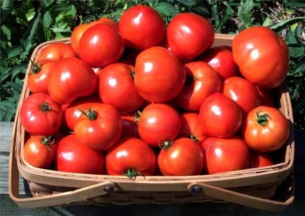 Низкорослые сорта томатов для открытого грунта