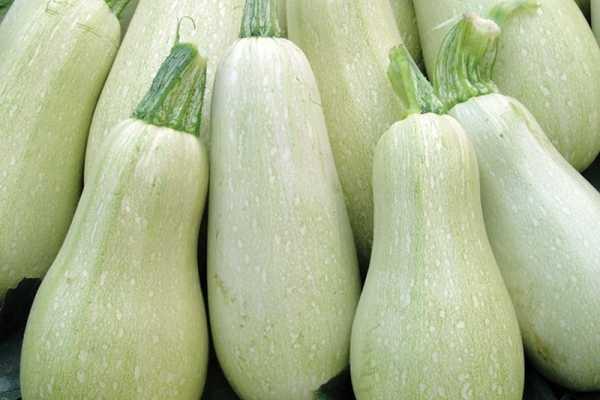 Кабачок «грибовский 37»: описание сорта и особенности выращивания