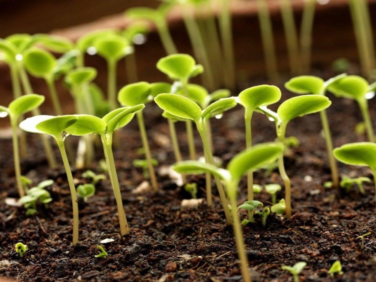 Барботирование: проводим эксперимент по ускорению всхожести семян