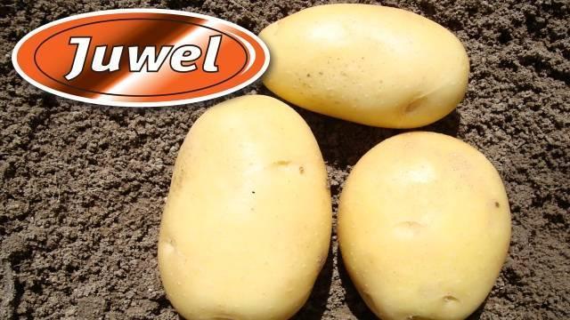 Описание сорта картофеля джувел, его характеристика и урожайность