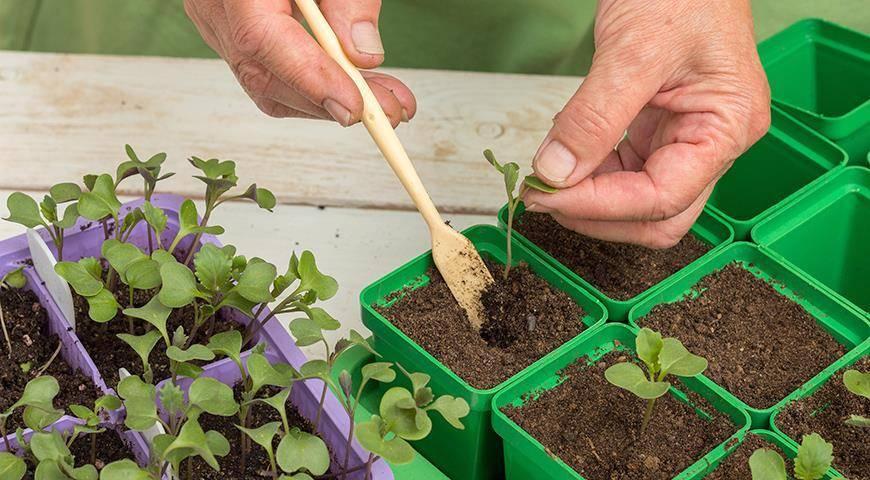 Как вырастить рассаду капусты в домашних условиях - правила выращивания и уход