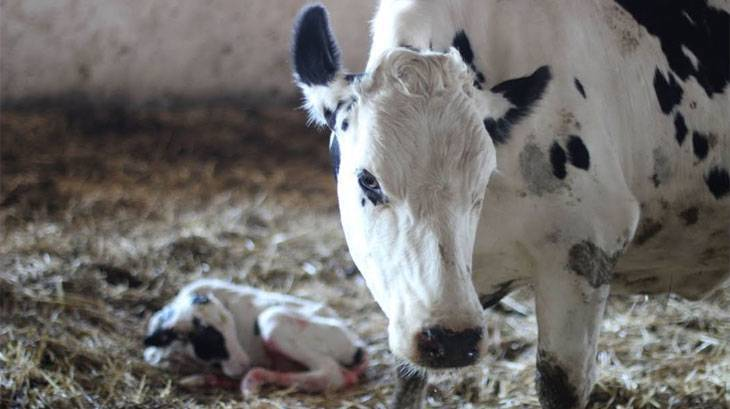 Выкидыш у коров в 7 месяцев
