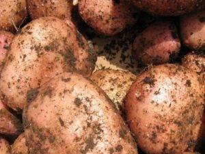 Особенности выращивания и правила ухода за картофелем сорта никулинский