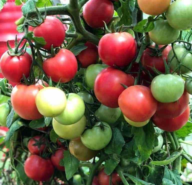 """Томат """"премиум f1"""": описание сорта, способа выращивания и фото помидор"""