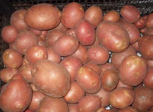 30 топ ранних сортов картофеля с описанием, вкусовыми качествами, фото и отзывами