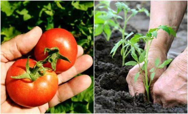 Томат волгоградский: описание сорта и 6 правил выращивания