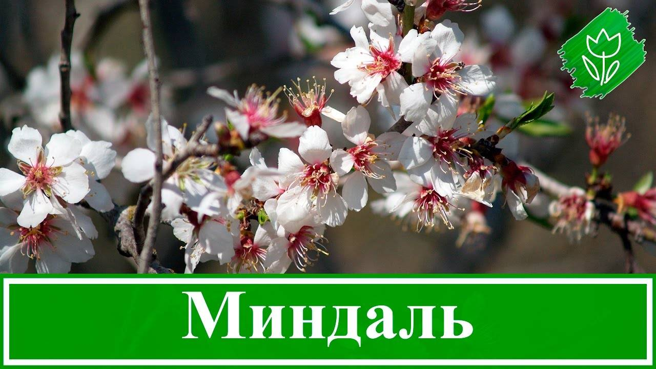 Как выращивают миндаль