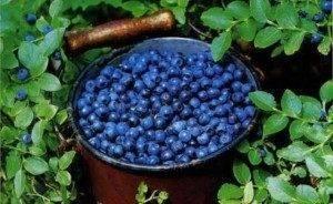 Чай из листьев черники — польза и вред | польза и вред