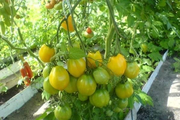 Простой в уходе — томат африканская лиана: советы огородников по выращиванию