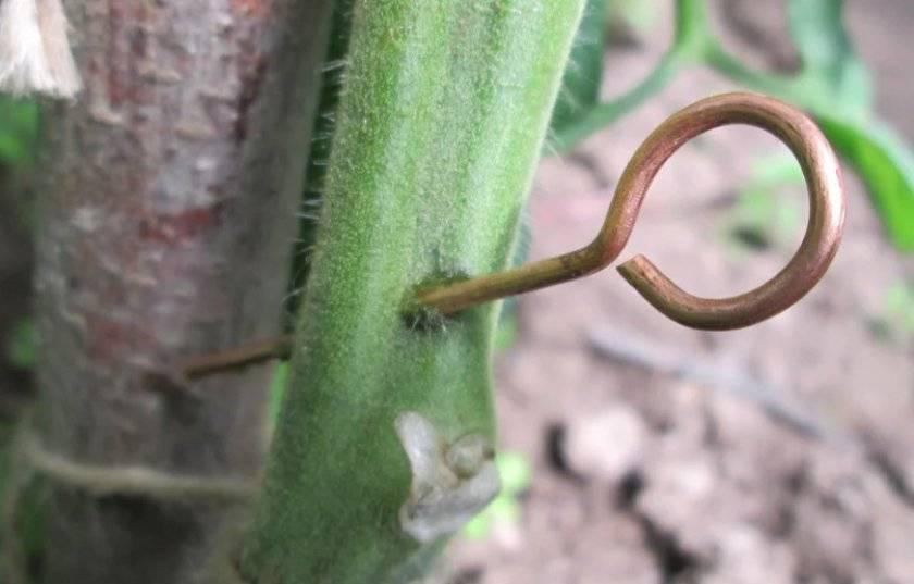 Особенности использования медной проволоки от фитофторы на помидорах