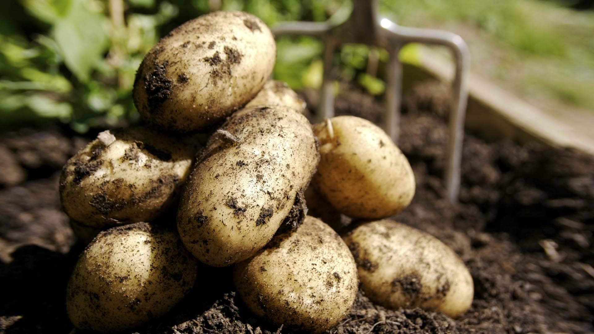 Бриз — неприхотливый картофель из белоруссии. описание растения и клубней