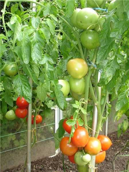 Никола — томат с сибирским характером