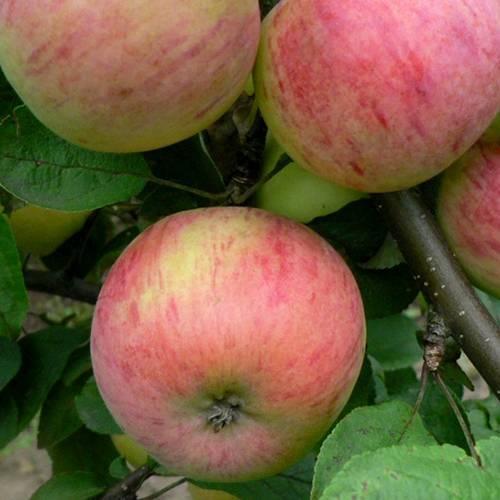 Сорт яблони эрли женева