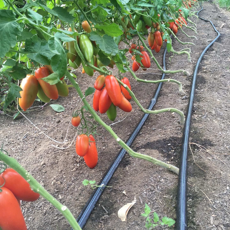 Морковь абако f1 — описание сорта, фото, отзывы, посадка и уход