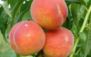 Характеристика и правила выращивания персика ветеран