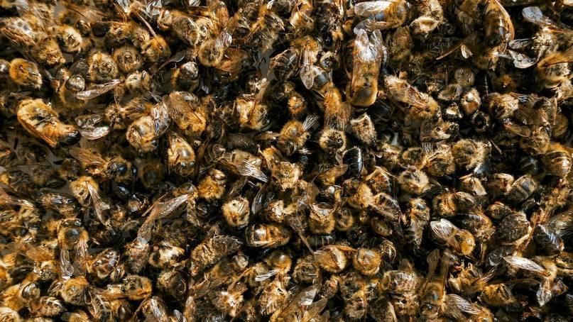 Подмор пчелиный: отзывы о настойке