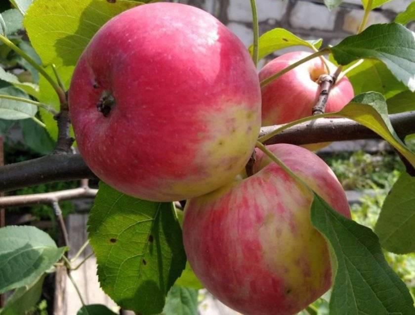 Яблоня анис свердловский: описание сорта, фото, отзывы садоводов