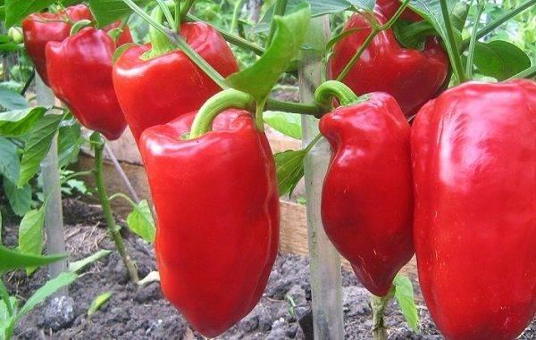 Самые урожайные сорта перцев