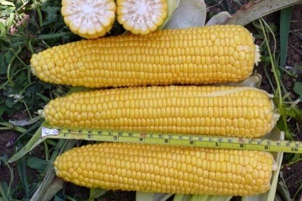 Сахарная кукуруза — царица полей и ценный деликатес на столе