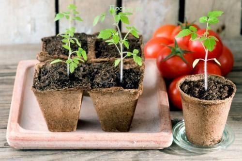 Получение урожая баклажанов в открытом грунте в подмосковье. как вырастить рассаду и дальше ухаживать за ней?