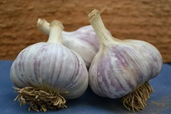 Озимый чеснок богатырь: характеристика, выращивание и уход