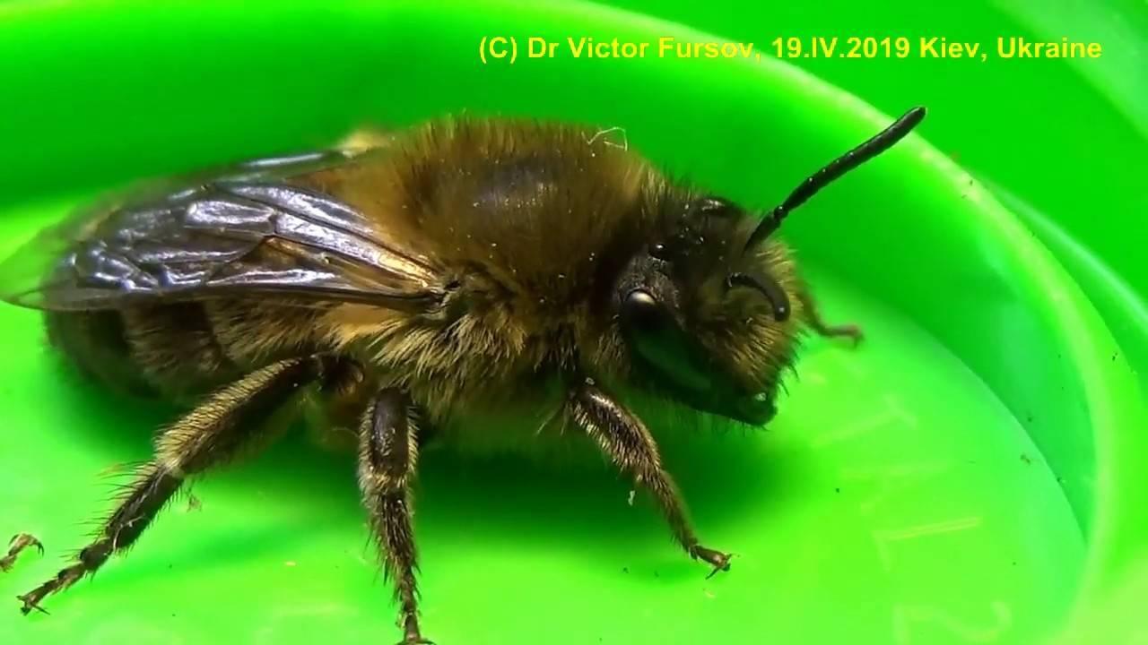 Дикие пчелы: фото, где живут