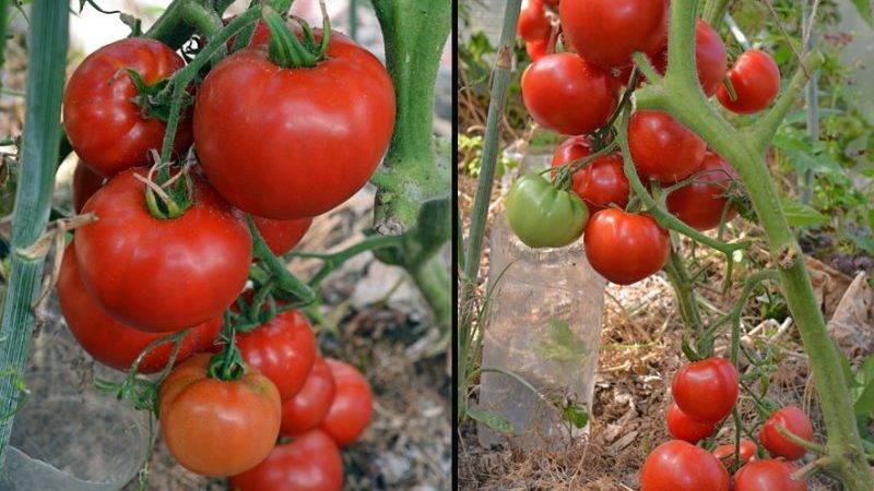 Характеристика, описание и выращивание томата бэлла роса f1