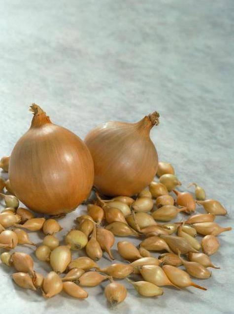 Гибрид лука «геркулес»: можно ли сажать под зиму и особенности выращивания