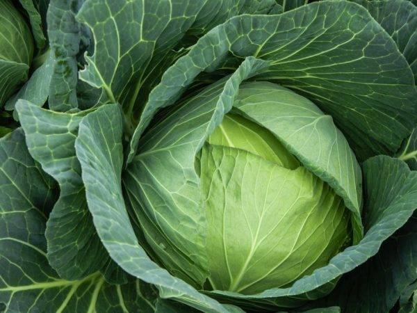Капуста агрессор: уникальность сорта и секреты отменного урожая