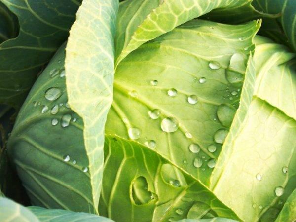 Список лучших сортов семян капусты для открытого грунта