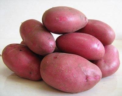 Картофель рокко: фото и описание, особенности выращивания и ухода