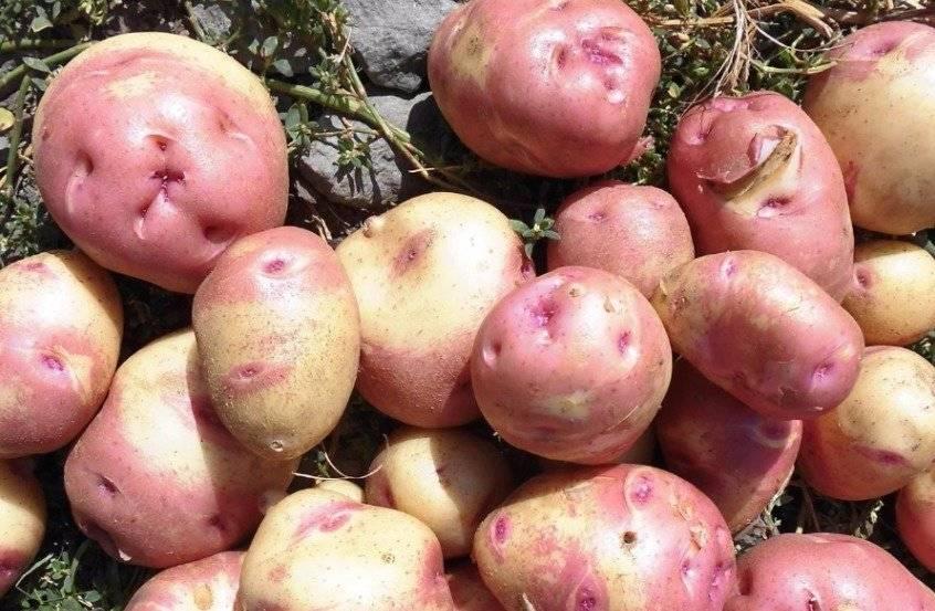 Картофель иван да марья: описание и характеристика, отзывы