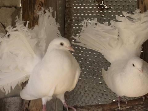 Декоративные голуби: лучшие породы, содержание, фото и видео