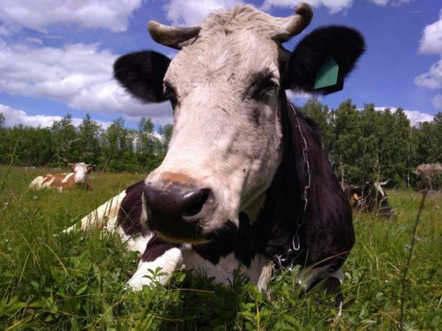 Мастит у коров: диагностика, лечение и профилактика заболевания. основные аспекты болезни и специфика болезни