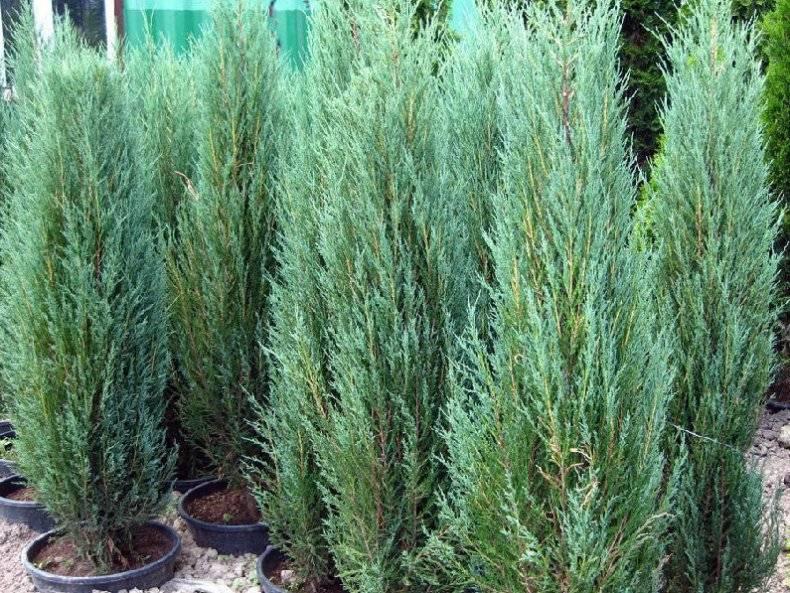 Можжевельник обыкновенный арнольд (juniperus communis arnold)