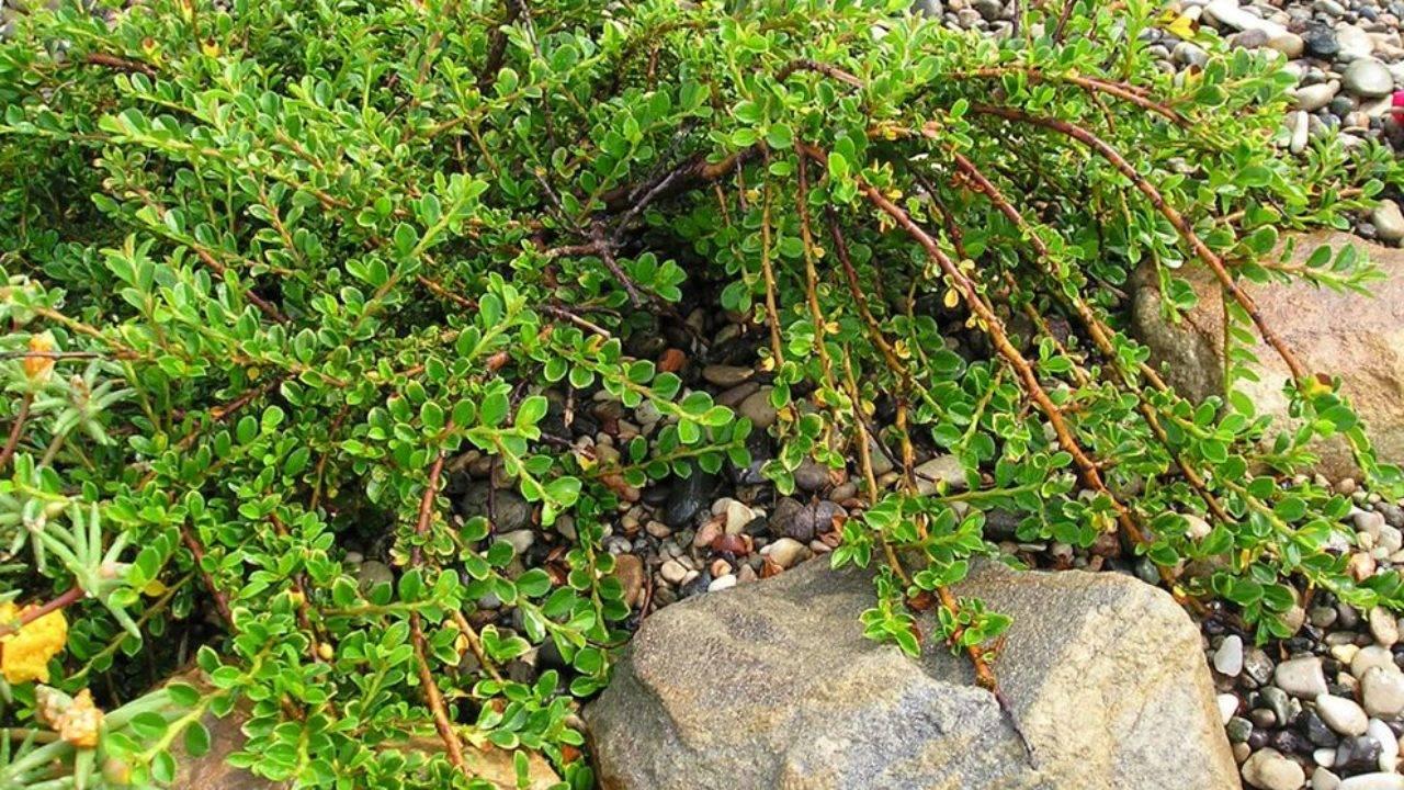 Живая изгородь – блестящий кизильник