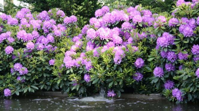 Рододендрон розеум элеганс: посадка и уход за растением