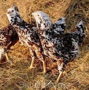 Орловские куры: описание ситцевой породы и ее характеристики, фото и особенности выращивания