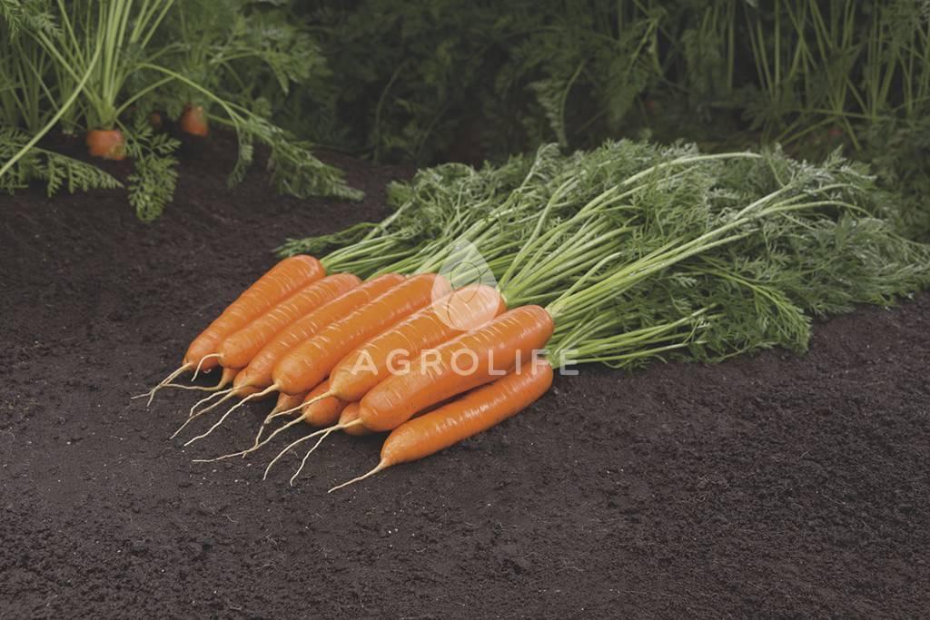 Отзывы о моркови сорта балтимор f1