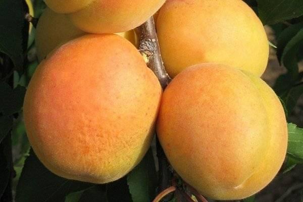 Описание сорта абрикоса ананасный