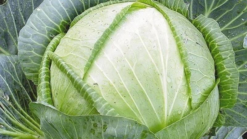 Особенности белокочанной капусты сорта белорусская