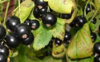 Сорт черной смородины багира