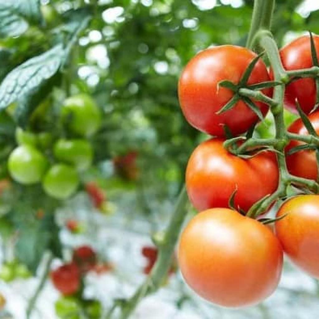 Использование нитроаммофоски для томата