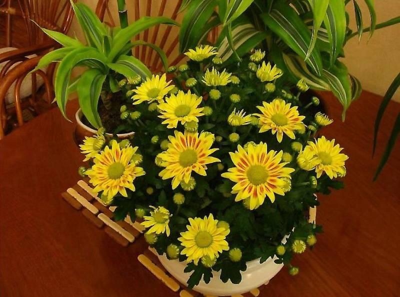Шикарные хризантемы благодаря правильному удобрению