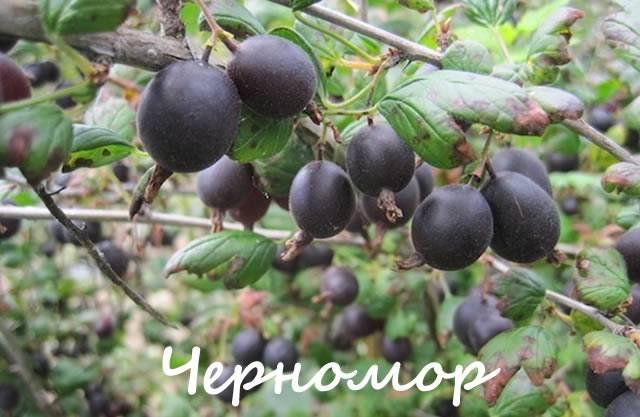 Крыжовник Черномор: характеристика и описание сорта