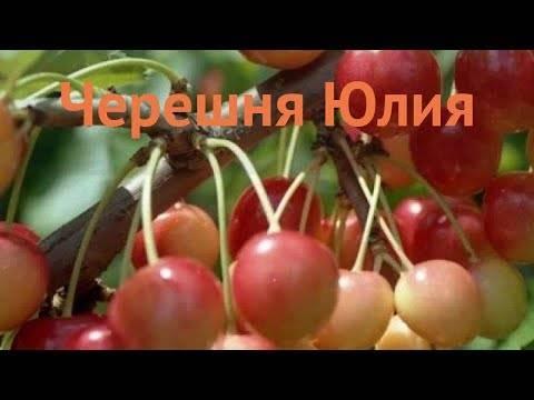 Черешня юлия: описание сорта, опылители